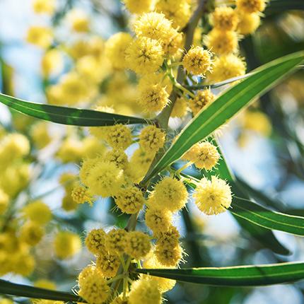 Actif : Acacia - Crème Exfoliante
