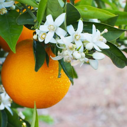 Actif : Fleur d'oranger - Crème Mains Parfumée Pamplemousse Rose